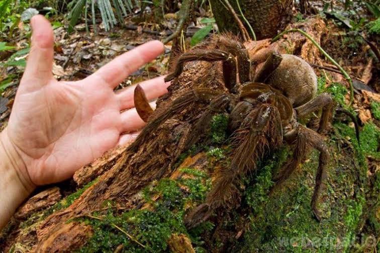 tarantula-goliat