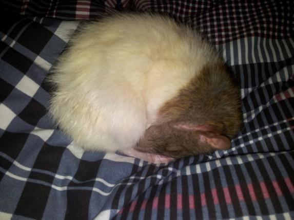 rata blanca acurrucada
