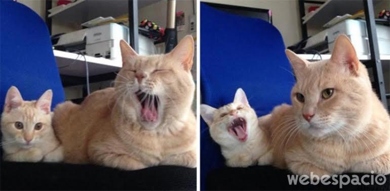 gatito-imita-a-tu-padre