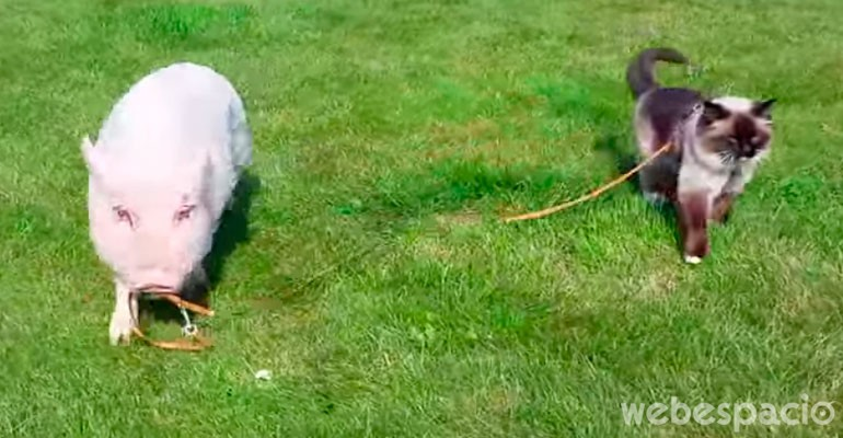 un gato y un cerdo son mejores amigos