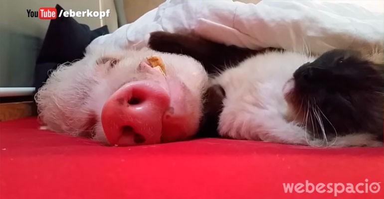 un-lindo-gatito-es-el-mejor-amigo-de-un-cerdo