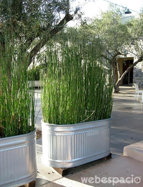 bambu-gigante