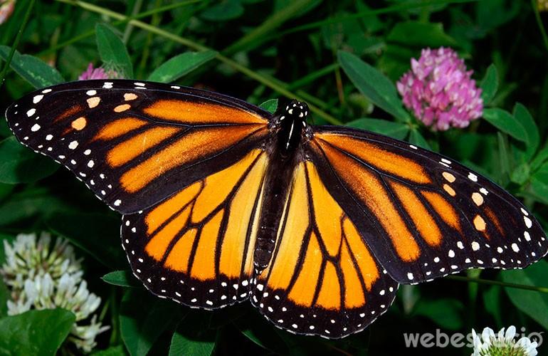 mariposa monarca en peligro