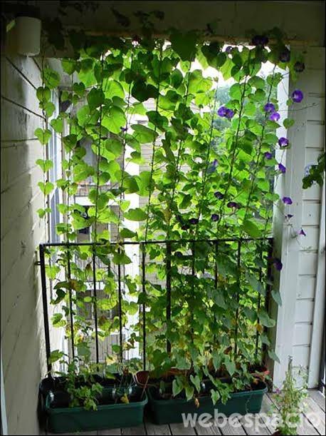 plantas-de-vid-como-mamparas