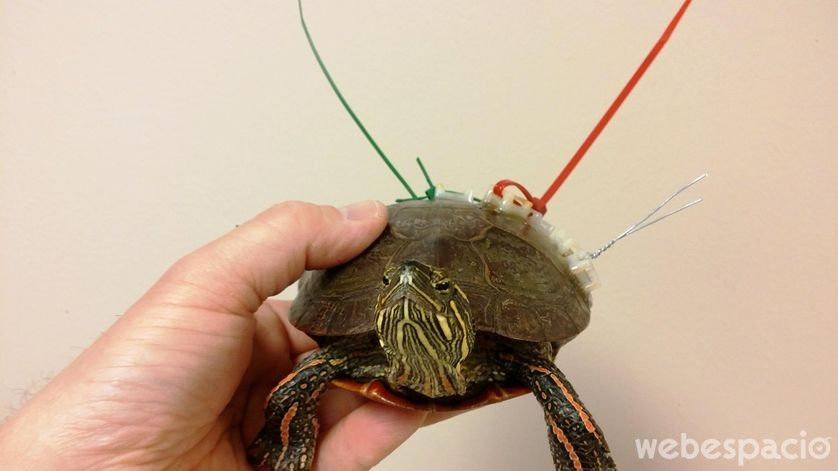 salvar a una tortuga con pegamento y cuerdas