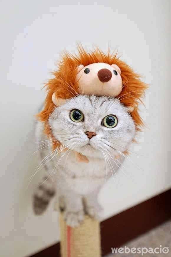 gato-aleonado