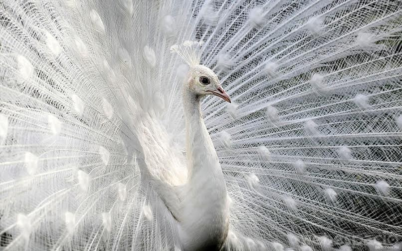 pavo-real-albino
