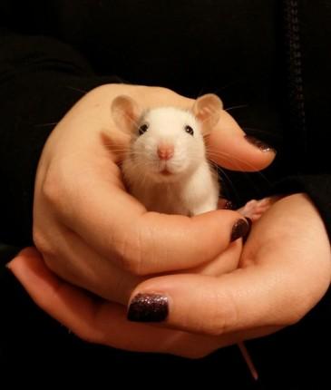 rata blanca en manos