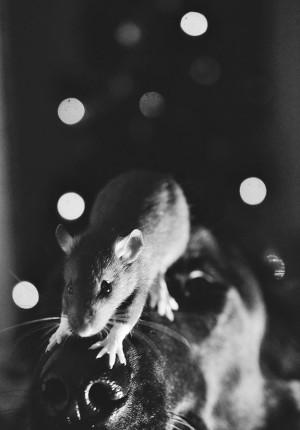 rata sobre un perro en tono sepia