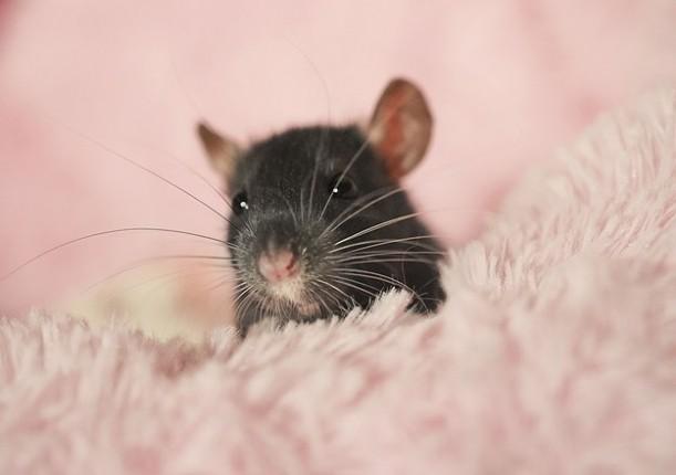 rata negra en fondo rosa