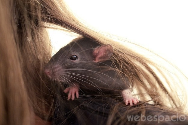 rata negra sobre el hombro de una mujer