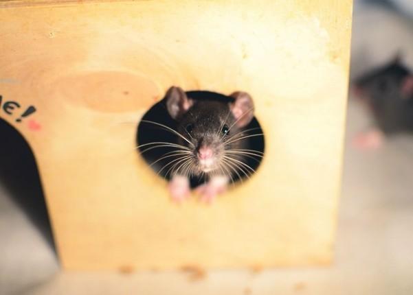 rata negra asomandose