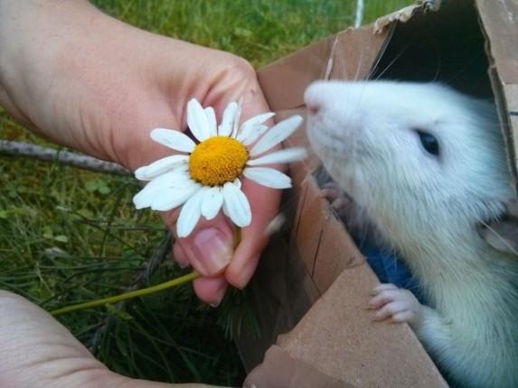 rata oliendo una flor