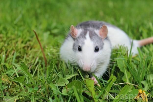 rata blanca en un jardín