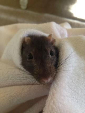 rata negra envuelta en una toalla
