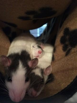 3 ratas durmiendo