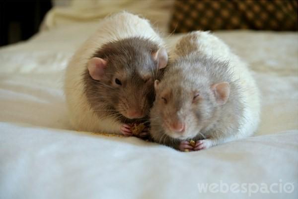2 ratas bebe