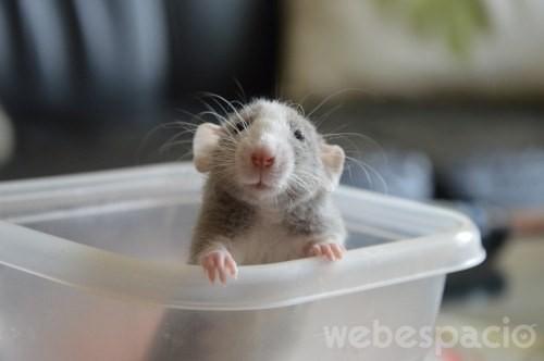 rata gris en una envase asomandose