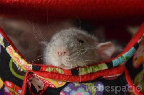 rata descansando