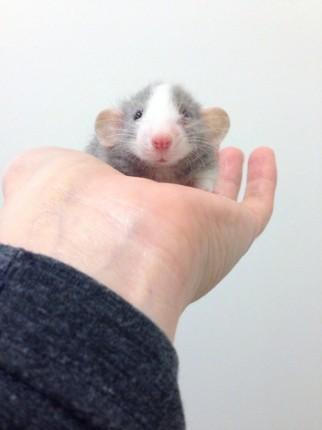 rata sobre una mano