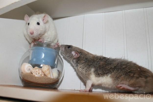 2 ratas en una alacena