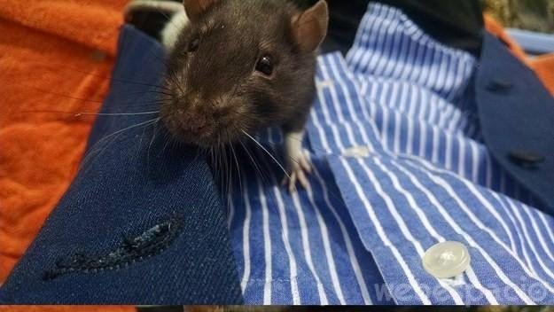 rata oscura sobre una cama