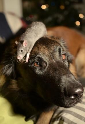 rata gris sobre perro negro